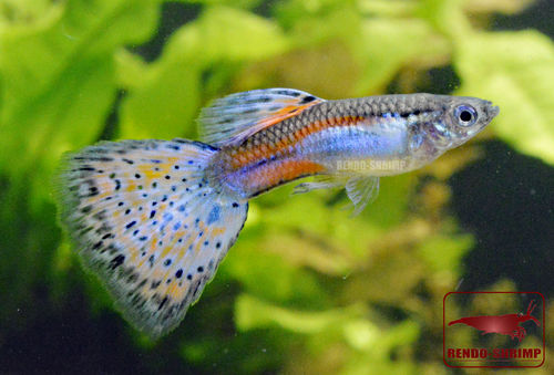 Guppy Männchen ♂ 'Blue and Red Grass' (Poecilia reticulata)
