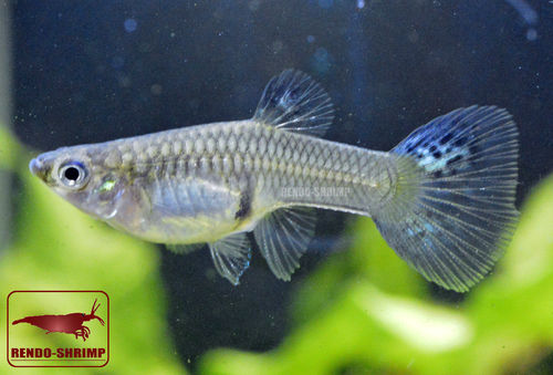 Guppy Weibchen ♀ 'Blue and Red Grass' (Poecilia reticulata)