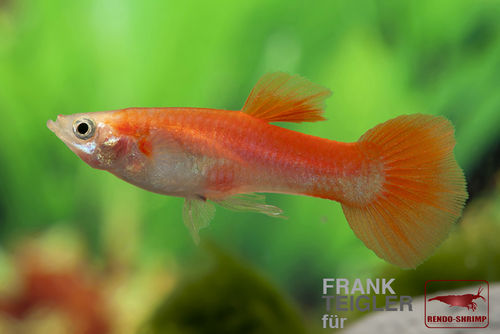 Guppy Pärchen 'Full Red' (Poecilia reticulata)