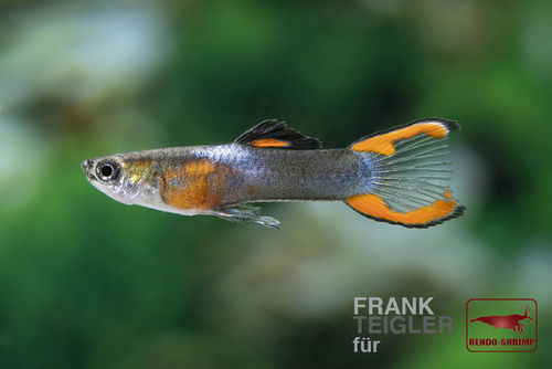 Endler Guppy Männchen ♂ 'Black Fire' (Poecilia wingei)
